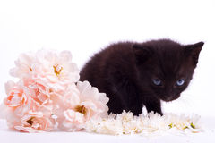 Pink an white rose with black cute kitten. On white Royalty Free Stock Photos