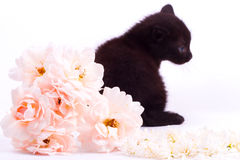 Pink an white rose with black cute kitten. On white Royalty Free Stock Images
