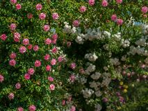 Pink and white rose bushes on a sunny day in spring. Pink and white rose bushes with many blossoms on a sunny day in spring Stock Photo