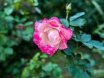 Pink and white rose Stock Photography