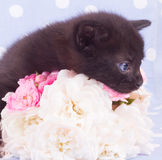 Pink an white rose with cute kitten. Pink an white rose with  cute kitten Royalty Free Stock Image