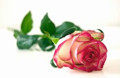 Pink and White Rose Flower Royalty Free Stock Photography