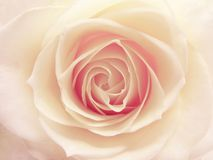 Pink and white rose heart closeup Royalty Free Stock Photo