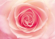 Pink and white rose heart closeup Royalty Free Stock Photography
