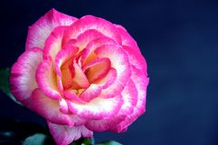 Pink and White Rose Iolated On Black Bk. A pink and white rose isolated against a low key blue black background in the horizontal view Royalty Free Stock Photo