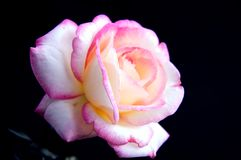 Pink and White Rose Iolated On Black Bk Stock Photos