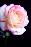 Pink and White Rose Iolated On Black Bk Stock Photo