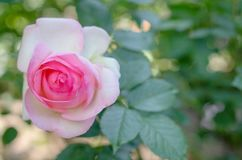 Pink and white rose on the left side of the frame. close-up. blu. Rred background Royalty Free Stock Images