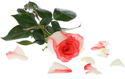Pink and white rose with scattered petals Stock Photo