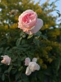 Pink white rose. Wallpaper and background stock photo