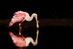 A roseate spoonbill feeding in calm water. royalty free stock photos
