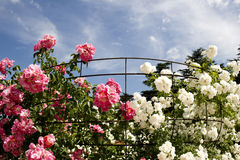 Pink and white roses. Climbing roses around their support Royalty Free Stock Photo