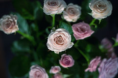 Pink and white roses background.  Royalty Free Stock Photos
