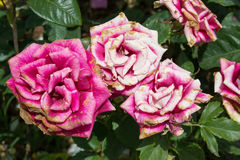 Pink and white roses Royalty Free Stock Image