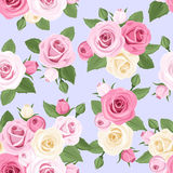 Pink and white roses on blue. Royalty Free Stock Photo
