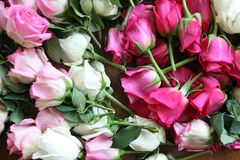 Pink and white roses. Bunch of Pink and white roses Stock Photos