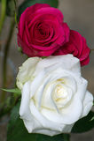 Pink and white roses Stock Photography