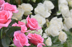 Pink and white roses close up background Stock Images