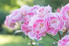 Pink and white roses in full bloom in garden at sunset. Bicolor Pink and White Roses in Bloom with green background at the Penticton Rose Garden Royalty Free Stock Photography