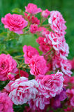 Pink and white roses. On a green background Stock Image