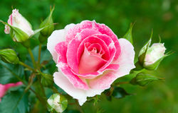 Pink-white roses on green grass background Royalty Free Stock Photos