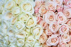 Pink and white roses Stock Photo