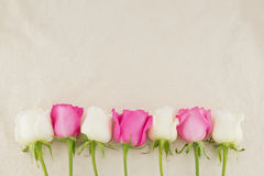 Pink and white roses on white muslin fabric Royalty Free Stock Photos
