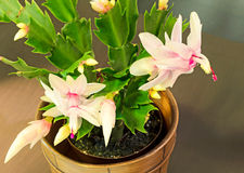 Pink, white Schlumbergera, Christmas cactus or Thanksgiving cactus flowers, in a brown flower pot, close up, bokeh background Royalty Free Stock Photography