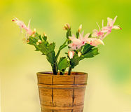 Pink, white Schlumbergera, Christmas cactus or Thanksgiving cactus flowers, in a brown flower pot, close up, bokeh background Royalty Free Stock Photos