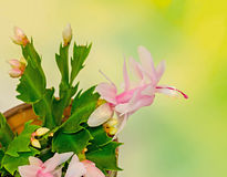 Pink, white Schlumbergera, Christmas cactus or Thanksgiving cactus flowers, in a brown flower pot, close up, bokeh background Stock Photo