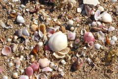 Pink and White Shells on Golden Sand Beach Background royalty free stock photo