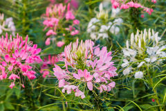Pink And White Spider flower(Cleome hassleriana). In the garden for background use Stock Photos