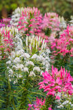 Pink And White Spider flower(Cleome hassleriana) Royalty Free Stock Photography
