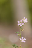 Pink and white Spring Beauty flower. Claytonia virginica blooms in a field in Southern California stock photo