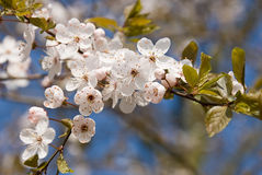 Pink and white spring blossom against a blue sky. Royalty Free Stock Photography
