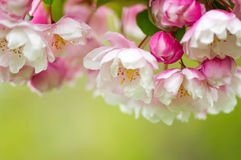 Pink and white spring blossoms on a green background Royalty Free Stock Images
