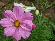 Pink and White spring flowers after the rain stock photography
