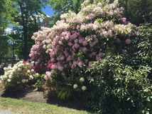 Rhododendrons  in Public garden Halifax NS royalty free stock photography
