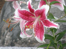 Pink and White Stargazer LIly in a Garden Royalty Free Stock Images