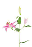 Pink and white Stargazer Lily on white Stock Photography