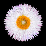 Pink White Strawflower Flower Isolated on White Royalty Free Stock Photos
