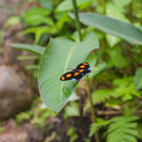 Pink and white striped black Common Postman butterfly (or Postman Butterfly) Stock Image