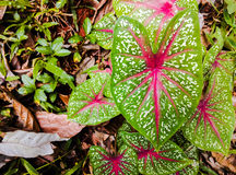 Pink and white striped leaves Royalty Free Stock Image