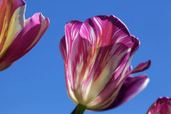 Pink and White Stripes Tulip Flower Closeup Royalty Free Stock Photo