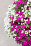 Pink and white surfinia flowers Royalty Free Stock Images