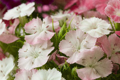 Pink and white sweet-william like spring background Stock Photography