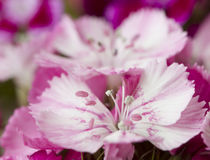Pink and white sweet-william like spring background outdoor Royalty Free Stock Photography