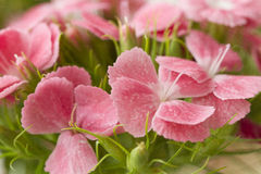 Pink and white sweet-william like spring background outdoor Royalty Free Stock Photos