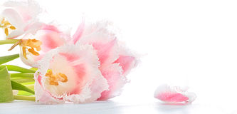 Pink and white terry tulips Stock Images
