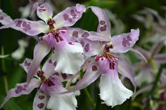 Pink and white tropical orchid stock photo